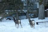 Hertjes in Banff