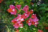 Bougainvillea in bloei; hoelang moeten wij daar nog op wachten.