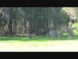 Kangeroes