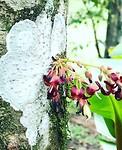 Birambi bloem