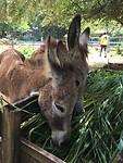 Donkeys - kinderboerderij in de Paramaribo Zoo
