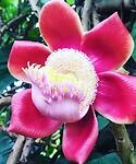 Kanonskogelboom bloem