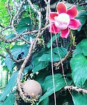 Cannonbullflowertree