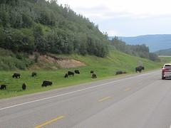 Bizons op de weg