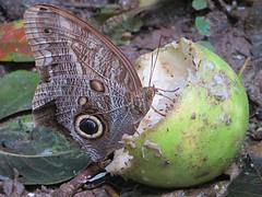 Giga vlinder op een Grapefruit