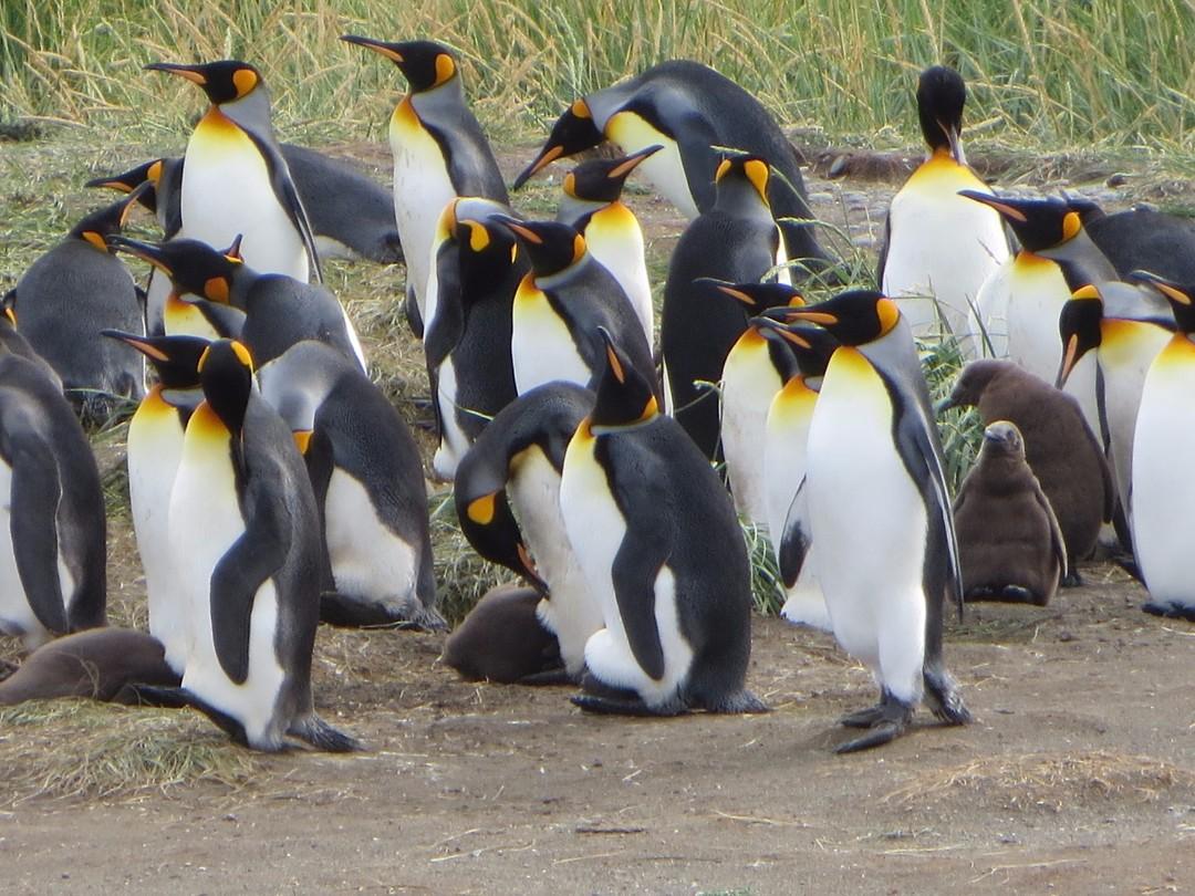 Konings pinguïns