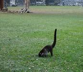 Coati op jacht naar tarantula's