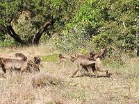 Gelada bavianen