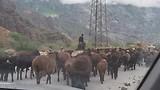 schapenkuddes op de weg