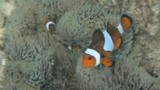 Nemo in het koraal