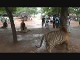Thailand - Tiger Tempel