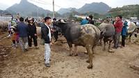 Op de veemarkt in Bac Ha (prijsbeest kost er 2.000 € vraagprijs)