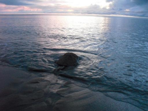 Soepschilpad gaat weer naar zee
