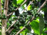 Koffiebessen