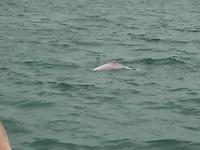 Een van de roze dolfijnen die ik vanmorgen mocht zien