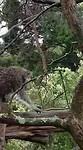 Koala evenwichtsbalk