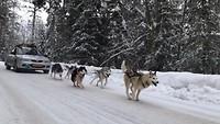 Huskies voor de auto!
