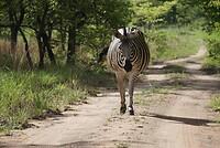 Zebra op de 'weg'