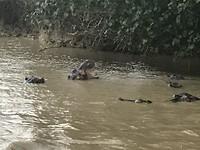 Een familie nijlpaarden