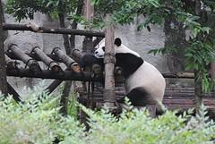 Yeahhh panda