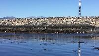 Aalscholverskolonie  in het Beagle Canal