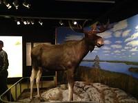 Moose, toch een beest van redelijk formaat...