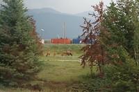 Herten in de Rocky Mountains