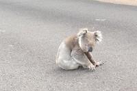 Koala op de highway naar cape