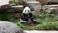 Luchtijd voor de Panda