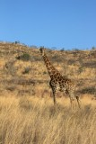 Giraffe tijdens game drive Welgevonden