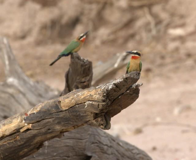 Bijeneters op de oever van de Zambezi rivier