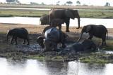 Een groep olifanten in Chobe