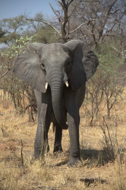 Nieuwsgierige olifant in Mudumu NP