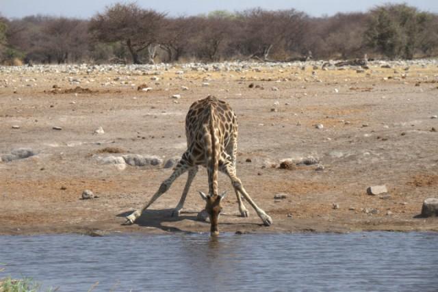 Yes, drinkende giraffe in Etosha