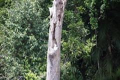 kakatoo in het Daintree Rainforest