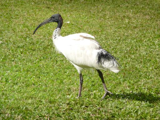 ibis-vogel   foto   claudia op reis : japan, nz, australie & samoa