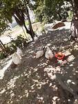 De kippen van de Familie