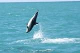 De Dusky dolfijnen