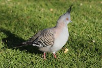 Crested pigeon, Alice Springs