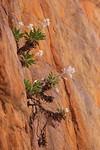 Desert Flannel Flower, Standley Chasm