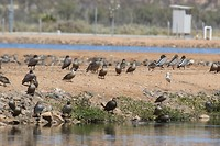 Maned Ducks, Pacific Black Ducks, Grey Teals, White-headed Stilt, rioolwaterzuivering Alice Springs