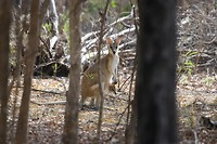 Agile Wallaby met jong, Bitter Springs, Mataranka
