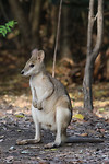 Agile Wallaby, Mataranka
