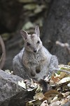 Wilkin's Rock Wallaby, Cutta Cutta Caves