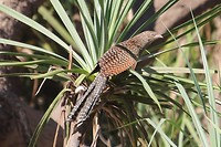 Pheasant Coucal, Katherine River