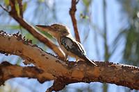 Blue-winged Kookaburra, Katherine Gorge, Nitmiluk NP