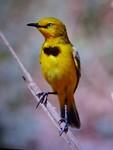 Yellow Chat (Screenshot display camera), Lake Argyle