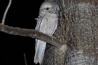 Tawny Frogmouth, Parry's Lagoon