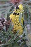 Honeypossum, Cheynes Beach