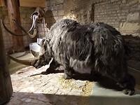 Wolharige neushoorn in museum de Bastei